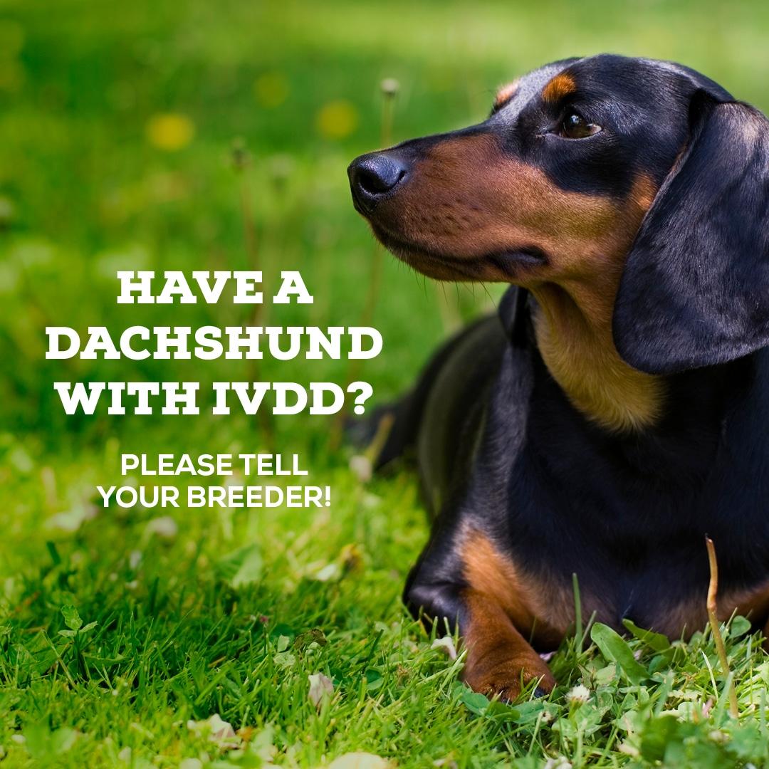 IVDD Screening | DISA | Dachshund IVDD Support Australia